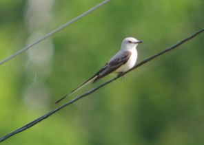 This Scissor-tailed Flycatcher was a one-day wonder on 7 Jun 2017 in the countrysideof Calvin Township, Nipissing Co,ON. Photo © Fred Pinto.