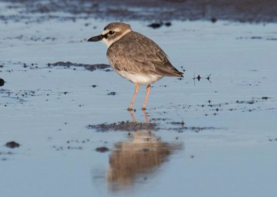 This Wilson's Plover, discovered by Gail Bisson was in Big Glace Bay Bird Sanctuary, Cape Breton Island, Nova Scotia only lingered 29–30 Apr 2021. Photo 4a © Gail Bisson, Photo 4b © Steven McGrath; Photo 4c © David McCorquodale.