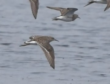 Here is the Ruff from Wisconsin's Horicon NWR, Dodge Co, showing its diagnostic V-shaped rump patch on April 27 2021. Photo © Jay C. Watson