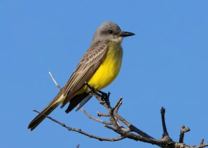 This Tropical Kingbird, believed to be a first spring record for New England, was found on 15 May 2021 at Provincetown Airport in Barnstable Co, Massachusetts. Photo © Sean Williams.