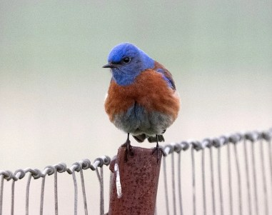 This Western Bluebird thrilled local birders and was a first county record near Valley Mills, McLennan Co, Texas 13 May 2021. Photo © Fay Ratta