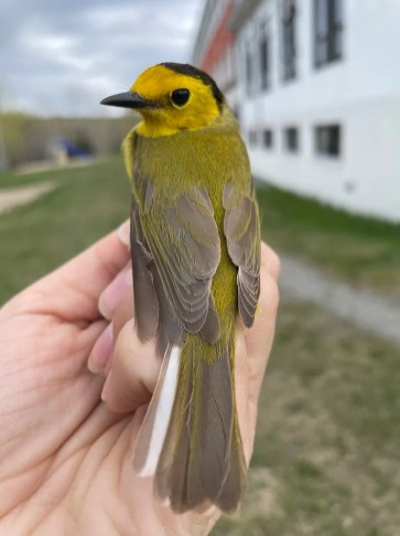 This female Hooded Warbler was captured and banded at the Grandes-Bergeronnes banding station on 17 May 2021. This species is a regular southern spring vagrant in the province of Québec. Photo © Photo Andra Florea.
