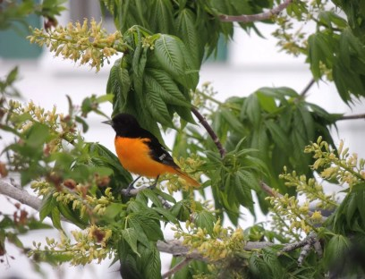 A brightly colored male Baltimore Oriole made an early arrival to Montana on 24 May 2021 in Helena,Lewis and Clark Co. Photo © Shawn Watts.