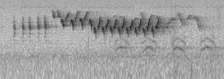 Particularly rare to Nova Scotia, this sonogram represents the audio recorded of this vocal House Wren at Stanford Harbour, Yarmouth Co, NS 21 May 2021 by Kathleen MacAulay. Sonogram © Kathleen MacAulay.