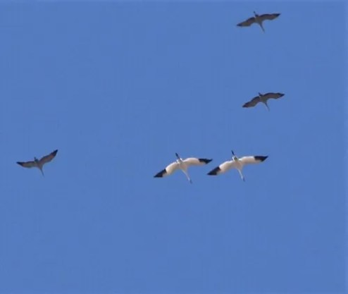 Although Whooping Cranes regularly migrate through southern Saskatchewan, an encounter with this iconic species is always a thrill. These two birds, with Sandhill Cranes, flew over Broadview on 21 April 2021. Photo © Don Weidl.