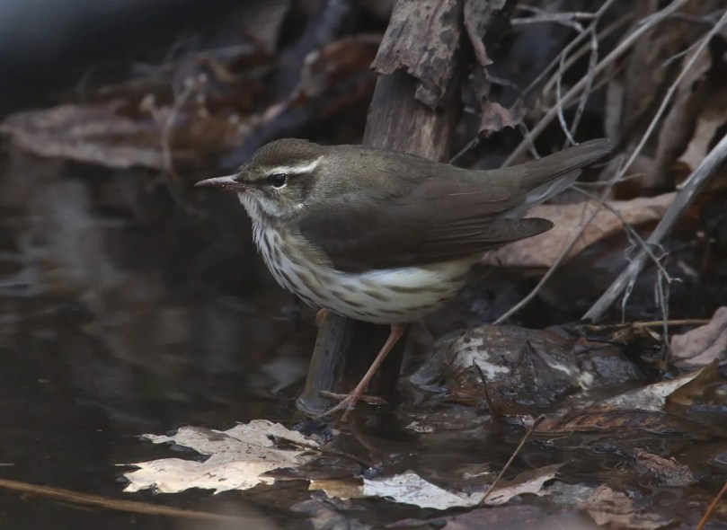 This Louisiana Waterthrush was photographed in the Mount-Royal cemeteries on the record early date of 5 April 2021. This species is a very local nesting bird in the most southern portion of the province of Québec. Photo © Samuel Denault.