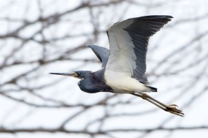 Another Tricolored Heron for the Western Great Lakes Region, this one turned up at the Nayanquing Point SWA in Michigan's Bay Co, photographed here on 19 Apr 2021, where it appeared from 17–29 Apr 2021. Photo © Brian McGee.
