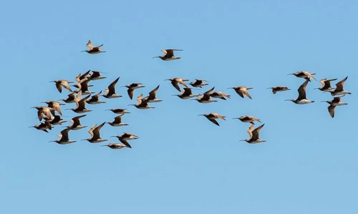 Shown here is a larger-than-usual flock of 40 Whimbrels at Bittern Lake, Alberta on 21 May 2021. Photo © Julie Jewitt & Wolfgang Lubey.