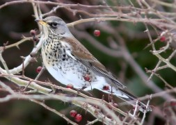 This Fieldfare, here photographed 5 Mar 2021 by Jared Clarke, was an exceptionally unusual spring visitor to the Avalon Peninsula, Newfoundland and Labrador 5–6 March 2021. Photo © Jared Clarke.