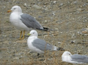 This Black-legged Kittiwake, rare anytime in the southern prairie provinces, and seen here on 10 Apr 2021, frequented a Calgary, Alberta dump and adjacent small pond. Photo © Ray Wershler.