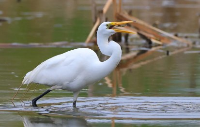 Nicely captured in action was this Great Egret at Spruce Grove, Alberta on 18 May 2021. Photo © Keith Huang.