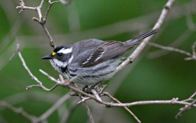 This Black-throated Gray Warbler appeared on the Lake Michigan shoreline at Lake Park, Milwaukee Co on 19 May 2021. Photo © Jim Edlhuber.