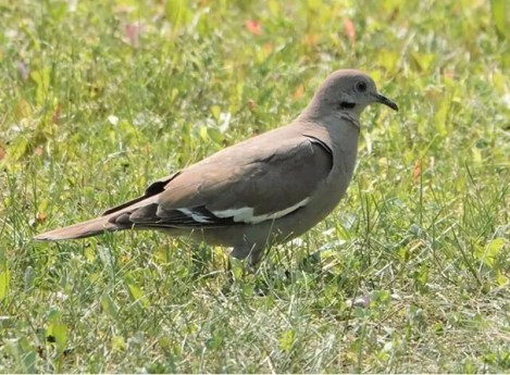 White-winged Doves have shown up in the prairie provinces with some regularity in the past few decades. This bird lingered at Ponemah, Manitoba from 13 (here) to 22 Jul 2021. Photo © Dries Desender.
