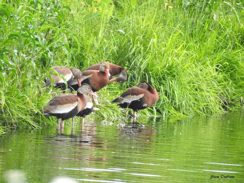 An unexpected surprise, six Black-bellied Whistling-Ducks were visitors to the Atholville Lagoons, Restigouche Co, New Brunswick 11 June 2021 that—pending acceptance—will provide the first records of the species for New Brunswick. Here photographed 11 June 2021. Photos © Steve Ouellette.