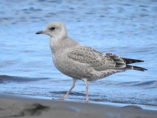 The newly-renamed Short-billed Gull usually begins returning to Oregon in mid-August. A hatch-year bird reported in Clatsop Co 25 July 2021 may be the state's earliest ever fall arrival. Photo © Tina Toth.