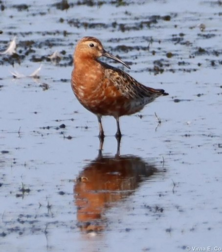 This Curlew Sandpiper at Wetaskiwin, Alberta on 10 Jul 2021 was the rarest shorebird of the season for the prairie provinces. It provided the region with about its 10th record, including several unconfirmed ones. Photo © Virna Espejo Cooper.