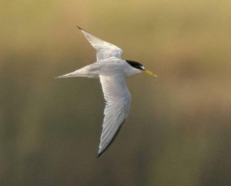 Alberta's second Least Tern, at Calgary 20 Jul 2021, was enjoyed by several birders during its one-day stay. Photo © Daniel Arndt.