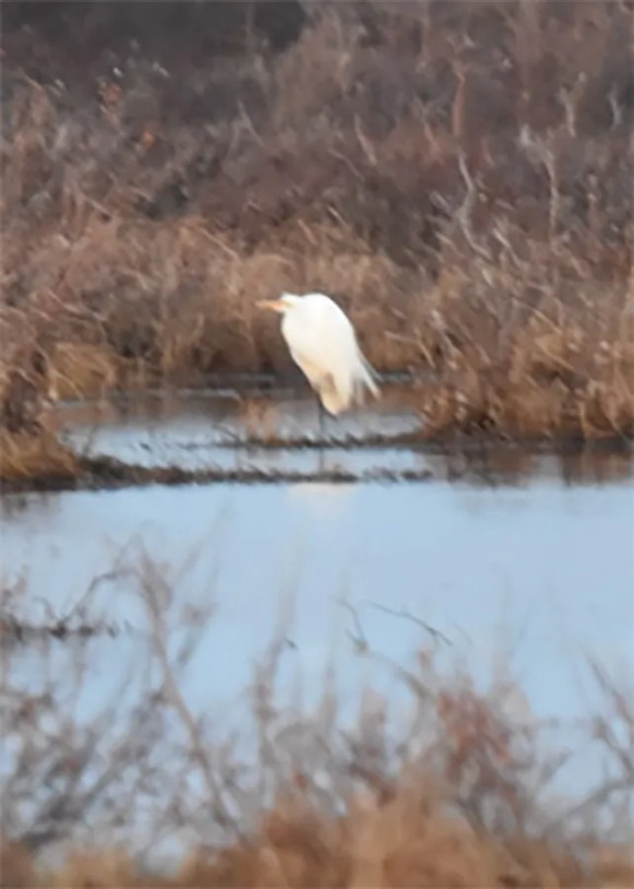 Few rarities were reported at Churchill during the summer of 2021—birders were mostly absent due to the Covid pandemic—but this Great Egret at nearby Akudlik Marsh on 13 Jun was an exception. Photo © Russell Turner.