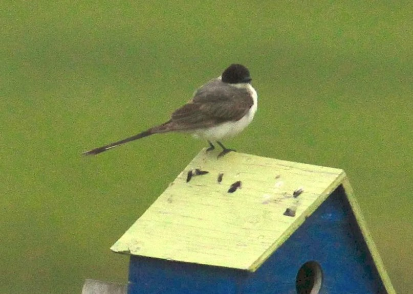 Casual to New Brunswick, this Fork-tailed Flycatcher was in Memramcook, Westmorland Co, New Brunswick 18–19 July 2021. Here photographed 18 July 2021. Photos © Gilles Belliveau.