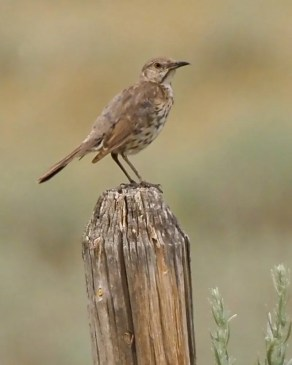 The breeding range of Sage Thrasher barely reaches the extreme southeast of Alberta, where this bird was one of three seen at Wildhorse near the Montana border in mid-Jul (here 19 Jul) 2021. Photo © Brian Elder.
