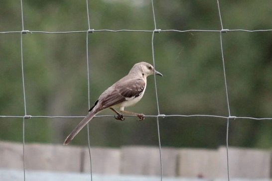 Northern Mockingbird is a rare, but regular, visitor to the prairie provinces. This bird was at Valleyview, Alberta on 2 Jul 2021. Photo © Mannfred Boehm.
