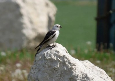 This very tardy Snow Bunting at Oak Hammock Marsh, Manitoba on 7 Jun 2021 was about a month later than the usual departure date. What was presumably the same bird was seen again on 11 Jun. Photo © Red Clarke.