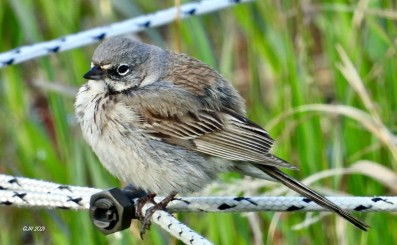 This second record of Sagebrush Sparrow for Alberta and the region was at Benchlands on 12 (here)–13 Jun 2021. Photo © George Halmanza.