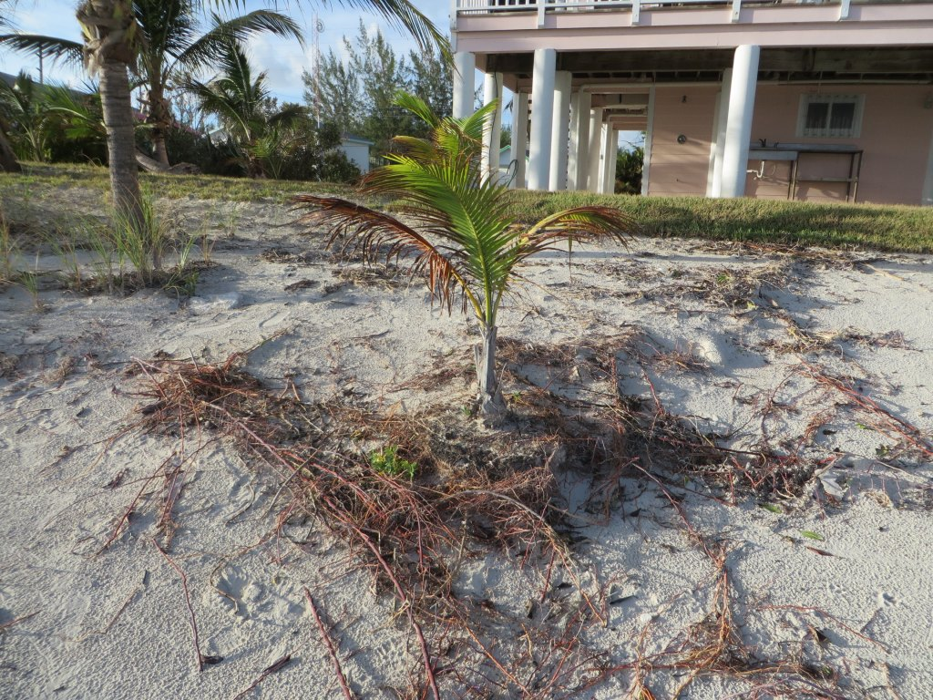 Look at the root system of this baby coconut! It 'held its ground' against the highest tides of Matthew! Our little 'Hero Tree!'