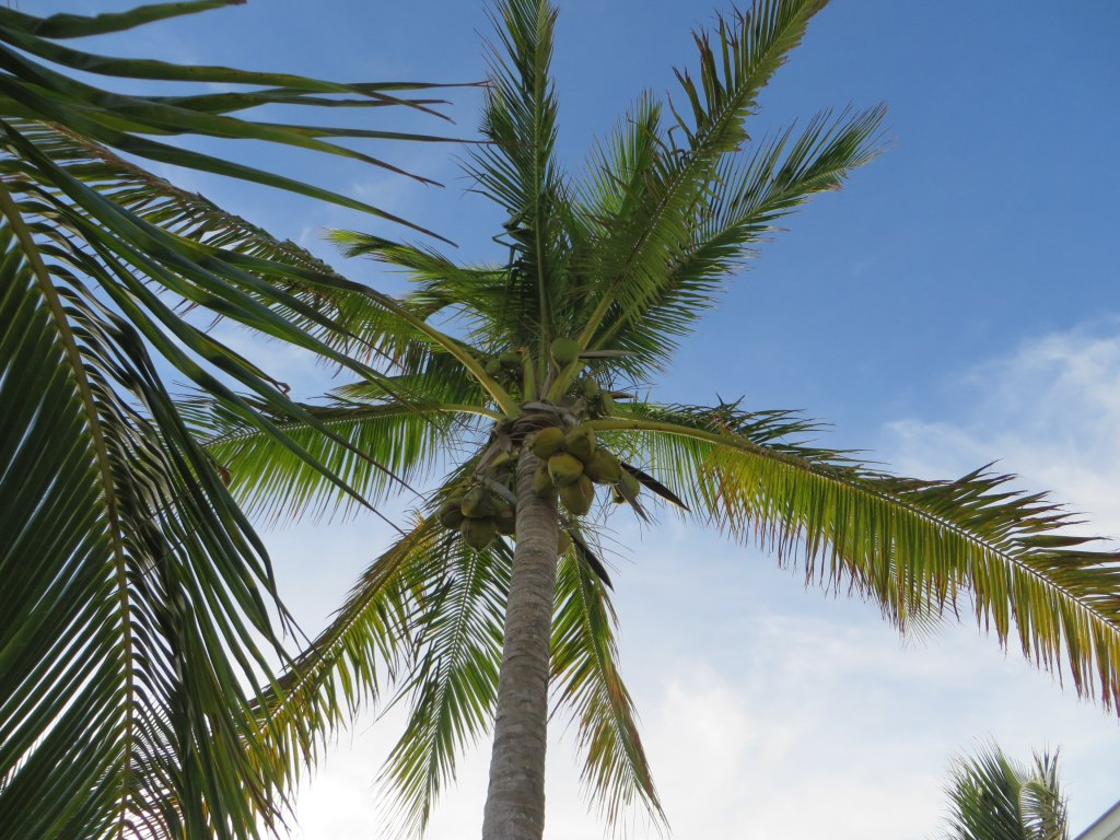 This is the 25' tree we transplanted to the beach of Kokomo 3 years ago - looking good after the storm! One of our conclusions from this experience is that Coconut Trees are THE BEST! The give you the feeling of being in paradise and they hold and protect your beach in a storm! They are my favorite tree!...and I will continue to add to our 'coconut grove' every year. :)