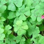 4-leaf-clover-many-1392612-m