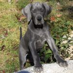 Main New England Florida S Premier Blue Black Great Dane Breeders