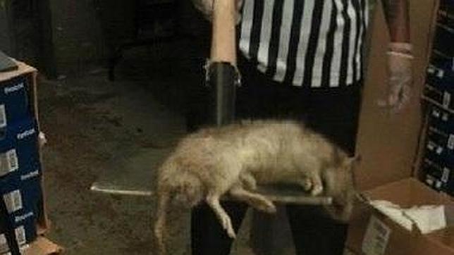Las ratas gigantes de Gambia invaden el barrio del Bronx, en Nueva York