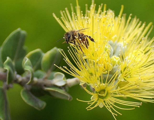 Un ácaro mata millones de abejas en todo el mundo
