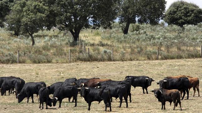 De Rusia a Cataluña a conocer el toro bravo