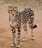 El guepardo que se esconde dentro de tu gato