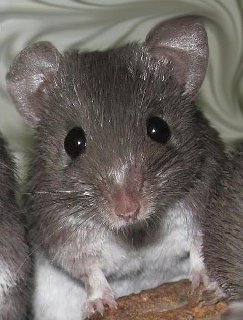 El ratón que se arranca la piel a tiras (y le vuelve a salir)