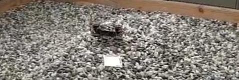 La cucaracha más rápida del mundo