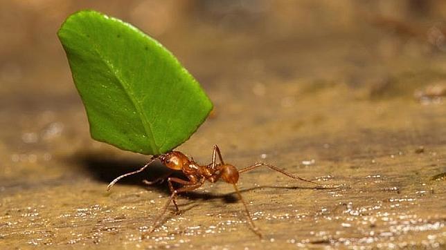 ¿Por qué las hormigas pueden transportar objetos colosales?