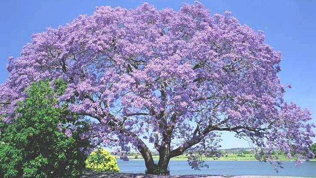 Paulownia tormentosa