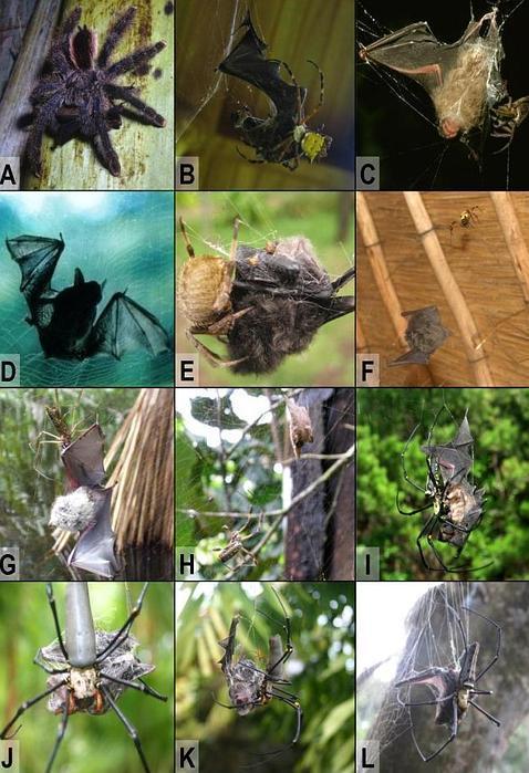 Las espeluznantes arañas que devoran murciélagos