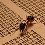 Las hormigas marchan por orden de edad