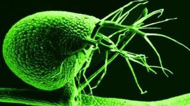 Una planta carnívora logra eliminar el «ADN basura»