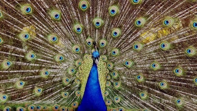 ¿Por qué las aves tienen tantos colores?
