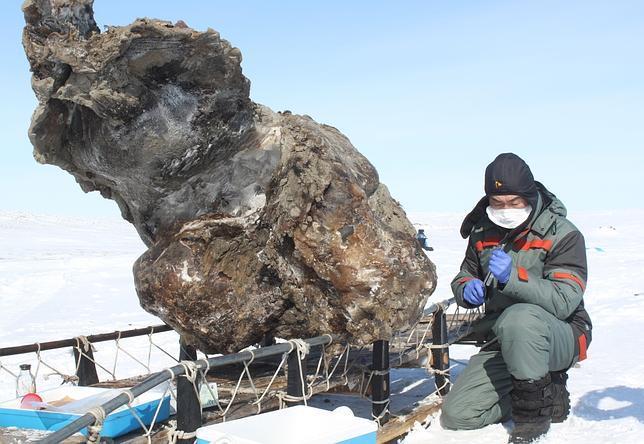 Hallan sangre entre los restos de un mamut congelado en el Ártico