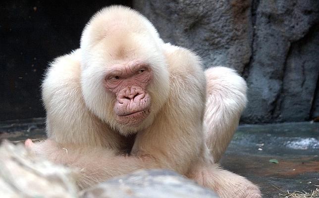 La endogamia causó el albinismo de Copito de Nieve