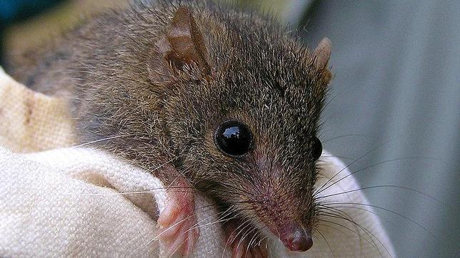 Resultado de imagen para marsupiales apareamiento
