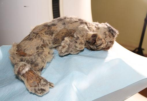 El espécimen de león de las cavernas
