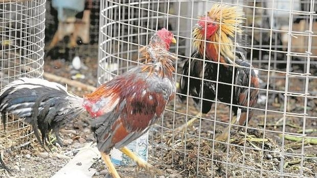Resultado de imagen para prohibir peleas de gallos