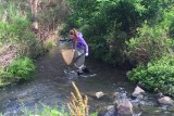 A scientist, wearing gumboots and carrying a large net, collects insects in a creek.