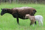 Unusual coloured lamb and mother